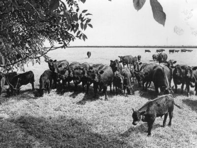Cows grazing in the summer 1980s
